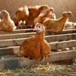 poulet bio 6