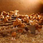 poulet bio 5