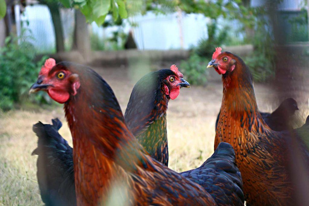 poulet bio 2