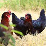 poulet bio 1
